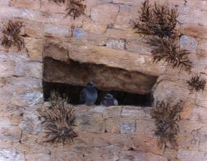 pigeons of cortona, italy MED